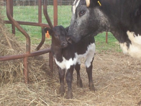 Momma and calf